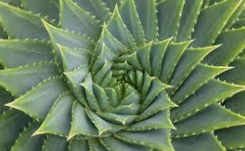 Aloe Vera's Fibonacci